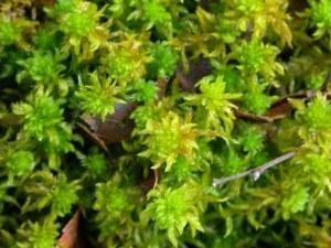 Picture of Sphagnum denticulatum